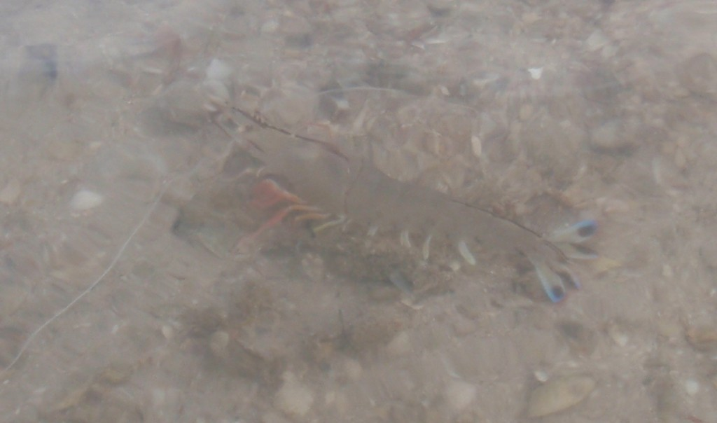Prawn at Cenang Beach