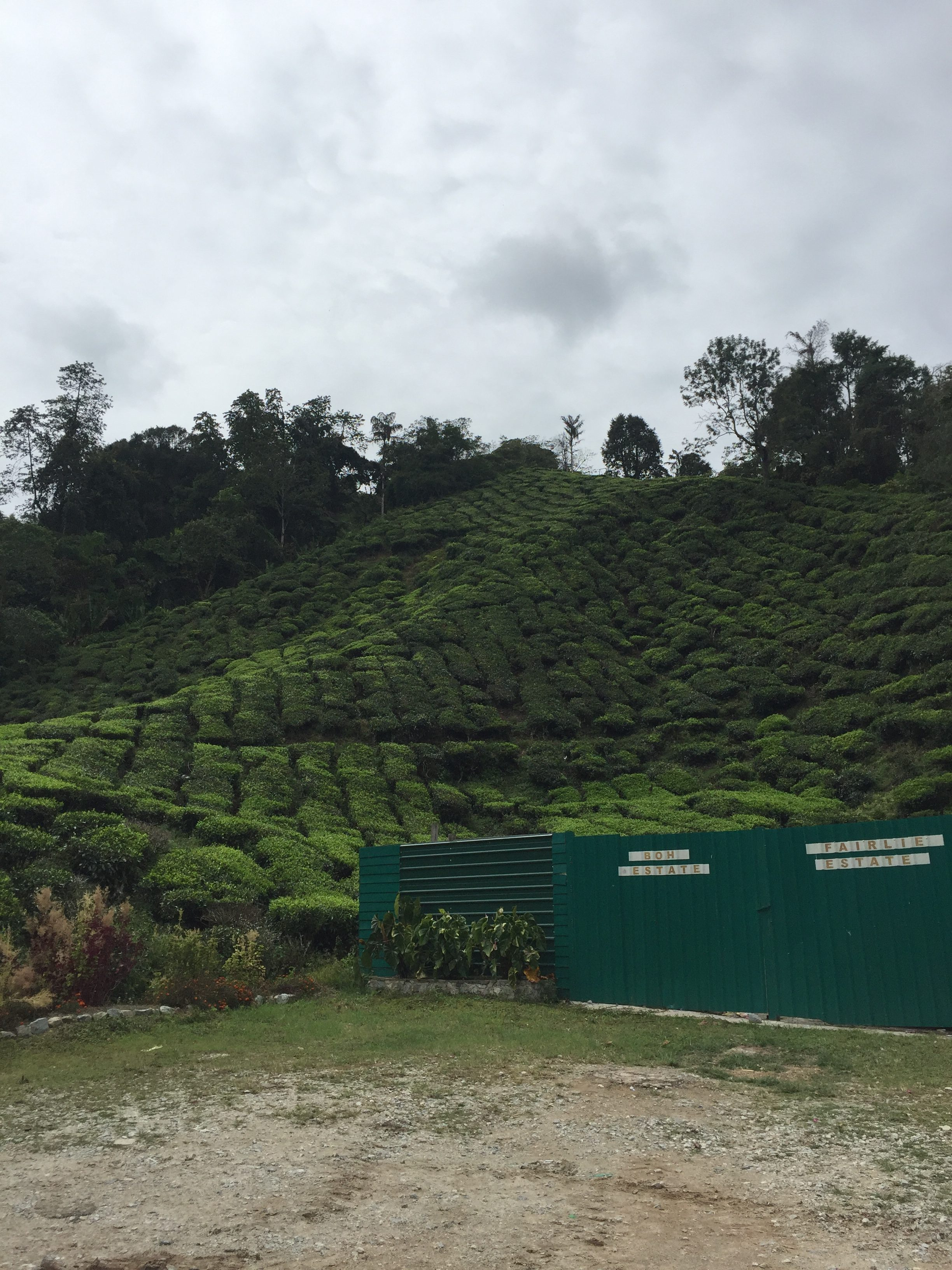 Boh Tea Plantation - we spent about 27km going up and down, and in loops
