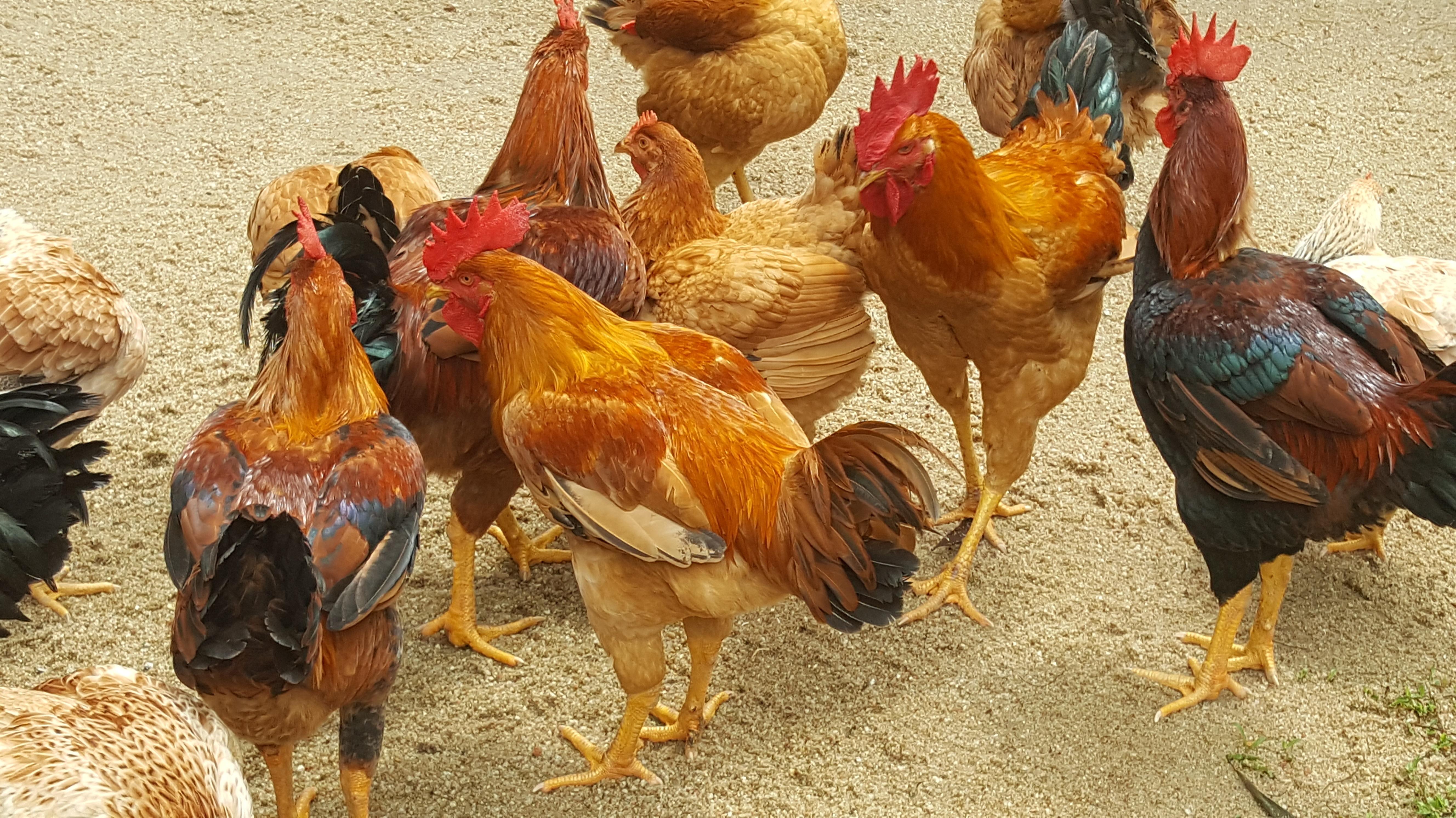 A family of Ayam Gajah